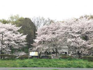 まだまだ頑張る桜